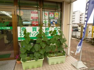 緑のカーテン~キュウリ~