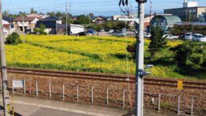 「ひまわり」砺波中心市街地遊休農地活用!!見頃です。