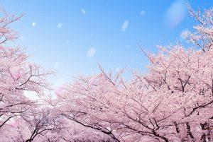 桜の開花予想2019 富山県砺波市・小矢部市・南砺市