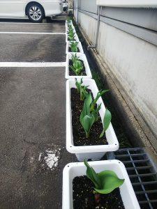会社で植えたチューリップ