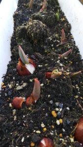 暖冬のこの時期に、チューリップが芽吹き始めました!!