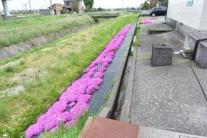 アパート敷地に植えられた芝桜!!小矢部市埴生ロイヤルハイツ