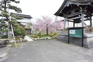 真寿寺 しだれ桜